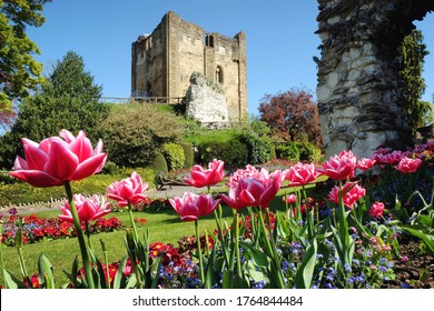 Tulips blossom with Guildford Castle in the background, Surrey, England