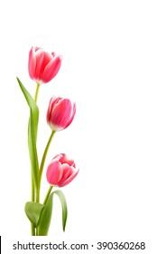 Tulips. Bouquet of red flowers isolated on white. Holiday background with copy space.