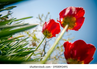 Tulips in bud. Young plants, unopened flowers in the bud. Gardening in the spring. Red tulips in the garden