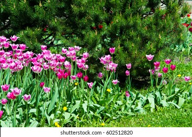 Tulips. a bulbous spring-flowering plant of the lily family, with boldly colored cup-shaped flowers. Flower tulips background. Beautiful view tulips under sunlight landscape at the middle of spring.