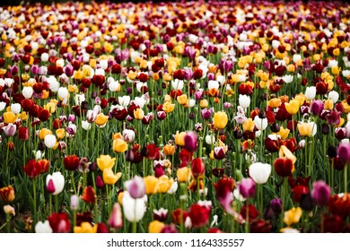 Tulips in China
