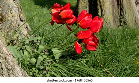 Tulips dancing in the wind