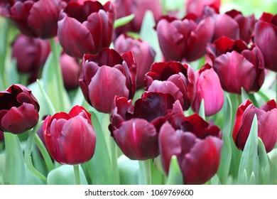 Tulips darkly claret blossoming group. Macro.  Flower bright background horizontally.  Liliaceae Family. Tulipa.