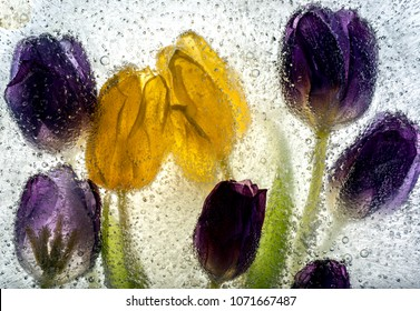 Tulips embedded in ice