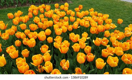 tulips festival of rare species of beauteful flovers