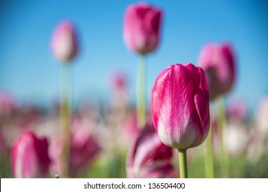 Tulips in a field of a flower farm