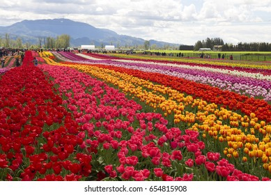 Tulips, field of flowers -  Popular opportunity is providing in April and May. Visitors enjoy beautiful flowers under hills close to Abbotsford. British Columbia, Canada