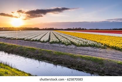 Tulips field in Netherlands