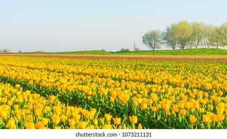 Tulips in a field in sunlight in spring