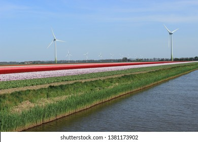 tulips in the field and windmills