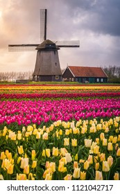 Tulips fields in Netherlands, near Amsterdam,  Northern Europe.