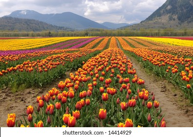 Tulips filed by by Cheam Mountain, Agassiz, BC, Canada