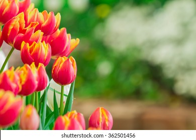 tulips flower with nature background