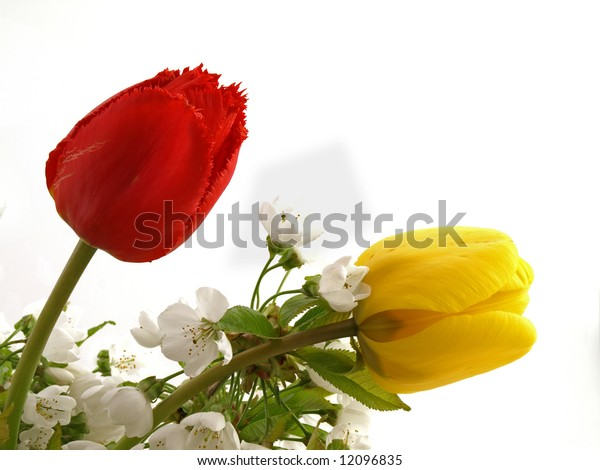 Tulips with flowering branches of cherries tree on white background