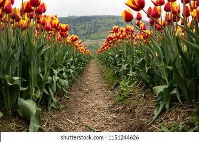 Tulips Flowers at Abbotsford Tulips Festival British Columbia Canada