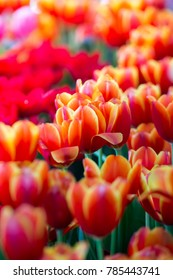 Tulips flowers beautiful bouquet of tulips , colorful flowers ,background wallpaper