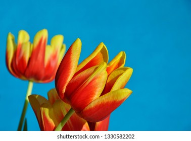 Tulips flowers in a blue background