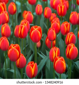 Tulips flowers. Bright spring multicolored flowers tulips. Spring floral background.