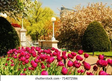 Tulips are in full bloom near the pedestrian of the Publik Garden in Boston.