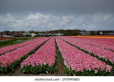 Tulips in full bloom is a tulip farm in the blooming region in De Zilk, Netherlands