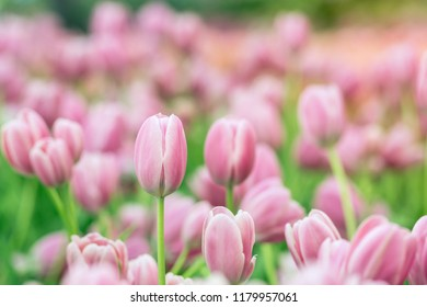 Tulips in the garden, Colorful tulips meadow nature in spring