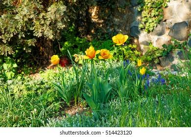 Tulips in the garden at St Martin Church in Linz am Rhein in Rhineland-Palatinate in Germany.