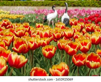 Tulips in the garden, Taipei.