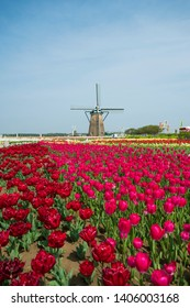 Tulips garden and wind turbine on background.