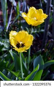 Tulips in garden. Yellow spring flowers.