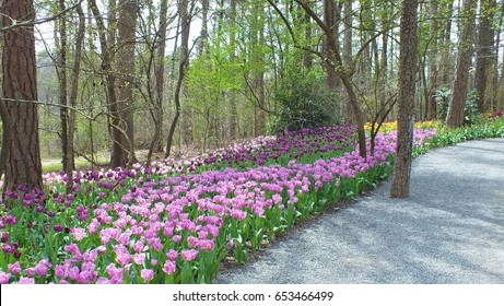 Tulips At Garvan Woodland Gardens, Arkansas. Images