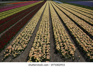 Tulips and hyacinths are in full bloom is a tulip farm in the blooming region in De Zilk, Netherlands