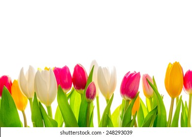 Tulips, isolated on white