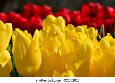 Tulips in Japan.