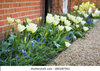 Tulips and muscari (grape hyacinth) growing in a garden flowerbed, spring flower bed, UK