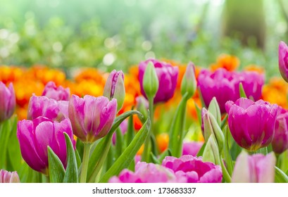 tulips with nature background