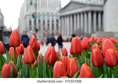 Tulips in New York City