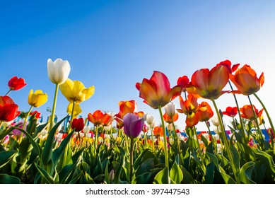 tulips on a blue sky background