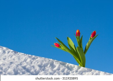 Tulips on a bright sunny day on the snow