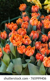 Tulips on a market stall with large, bowl shaped bright orange blossoms with a purple flame