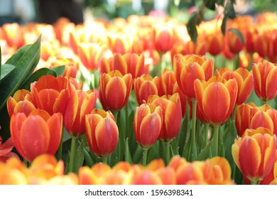 tulips orange yellow in nearly every color of the rainbow, with some varieties having petals in multiple tones or colors in a single bloom. You'll find tulips in deep shades valentine day love you