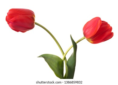 Tulips pair isolated on a white background