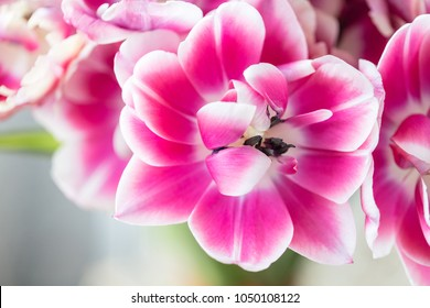Tulips of pink and white color opened. Big buds of multicoloured tulips. Floral natural backdrop. Bicolour tulips filled picture. Unusual flowers, unlike the others. Shallow focus.