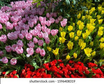 tulips pink yellow red are available in nearly every color of the rainbow, with some varieties having petals in multiple tones or colors in a single bloom. You'll find tulips valentines day garden