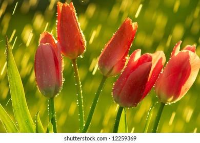 Tulips in rain