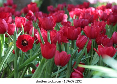 tulips red are available in nearly every color of the rainbow, with some varieties having petals in multiple tones or colors in a single bloom. You'll find tulips in deep shades valentine day love you
