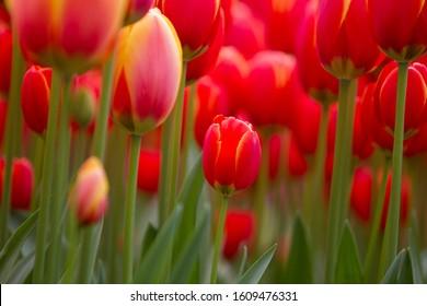 Tulips Red Didier, Keukenhof, Nederland.