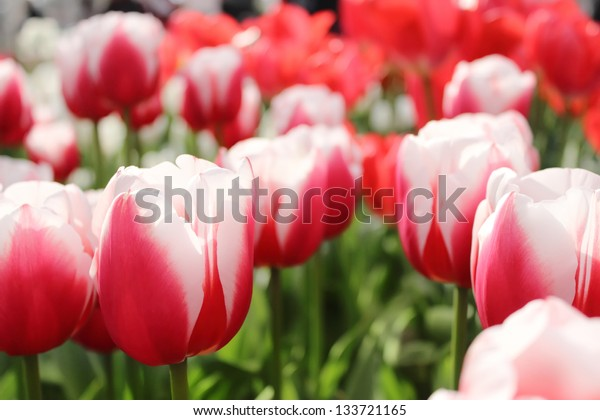 Tulips with red and white petals, closeup / macro view