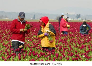 Tulips, Skagit Valley, Washington