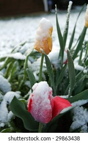 Tulips in the snow