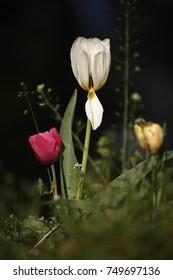 Tulips, spring
